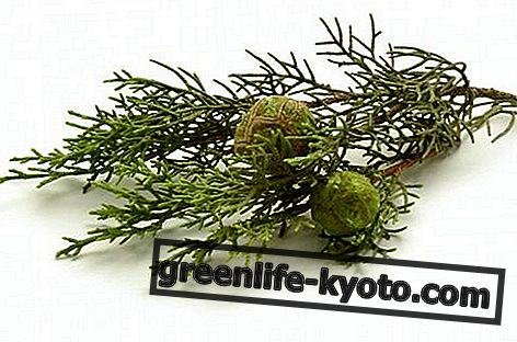 Cypress etherische olie: eigenschappen, gebruik en contra-indicaties