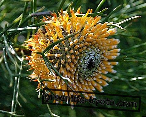 Isopogon, australsk blomstermiddel