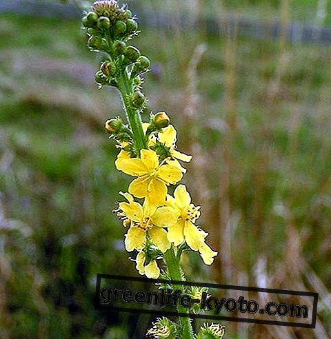Agrimony, tudo na flor de Bach