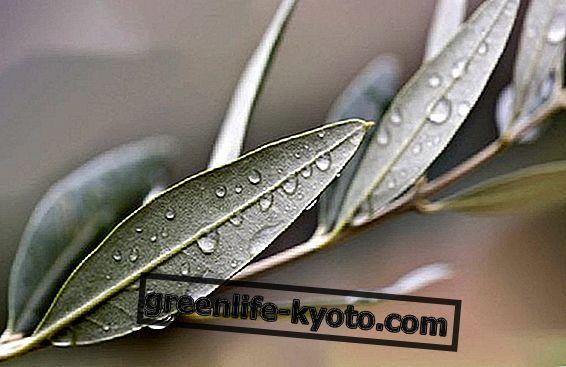 Eigenschappen van olijfbladeren