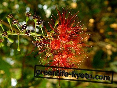 Γλυκό νερό Mangrove, αυστραλιανή θεραπεία λουλουδιών
