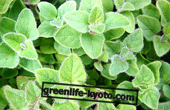 A homeopátia és fitoterápia klinikai alkalmazásának főbb növényei