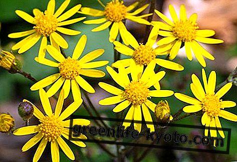 높이 노란색 옐로우 맨, 호주 꽃 치료