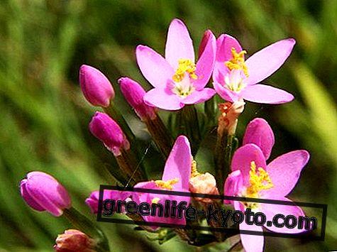 Centaury, kaikki Bachin kukka