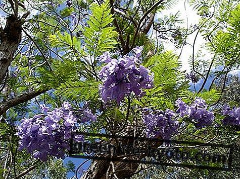 Jacaranda, australský květ lék