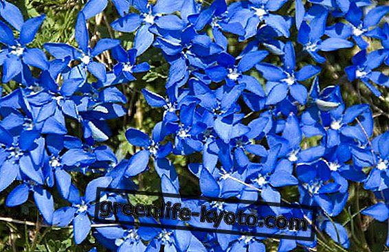 Pari universumi: kuten Bachin kukat, ne voivat auttaa ratkaisemaan mahdollisen kriisin