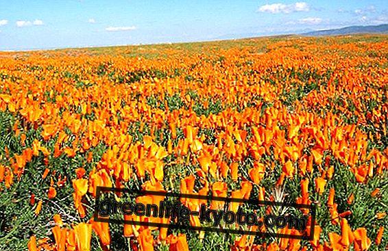 Flores californianas como ondas que transformam almas