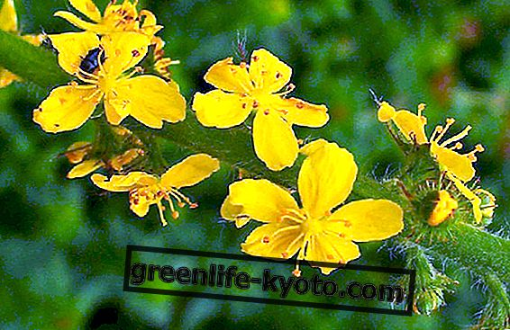 Bach λουλούδια για υπερευαισθησία