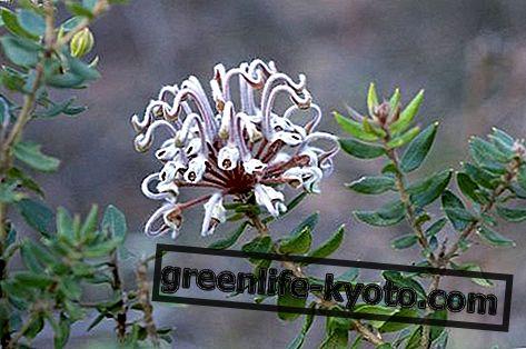 Sivi cvet pajek, avstralsko cvetno zdravilo
