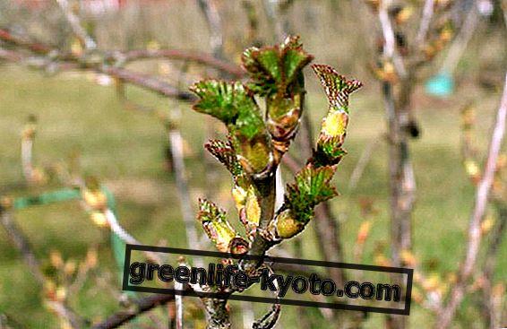 Stop met allergieën met Ribes Nigrum