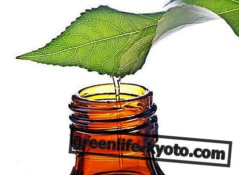 Huile essentielle d'arbre à thé: propriétés, utilisation et contre-indications