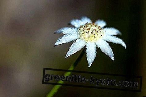 लिटिल फलालैन फ्लावर, ऑस्ट्रेलियाई फूल उपाय