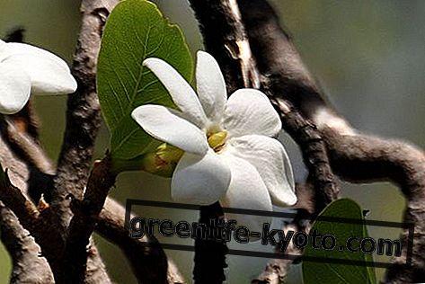 Bush Gardenia, Australijos gėlių vaistas