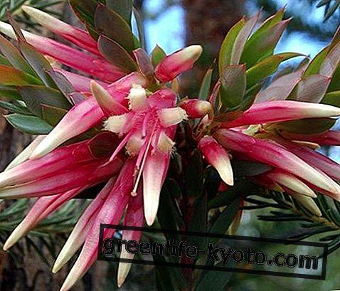 Five Corners, Australische bloemenremedie
