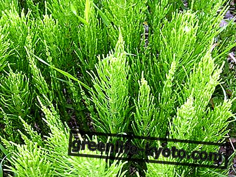 Horsetail: properties, use, contraindications