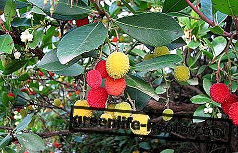イチゴの木:特性、用途および禁忌