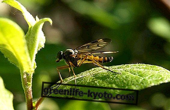 Muggenmelkplanten, wat ze zijn en hoe ze te gebruiken