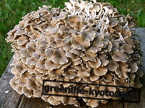 Polyporus umbellatus, 언제 어떻게 사용 하는가?