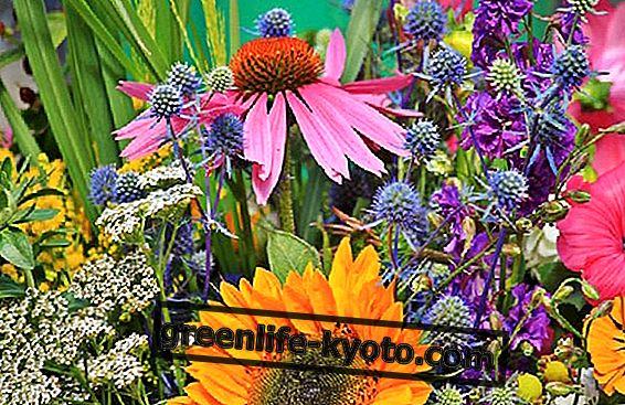 Astragalus un Echinacea Jūsu imūnsistēmai