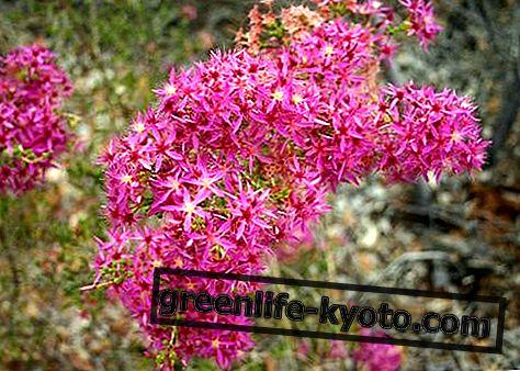 Arbusto de pavo, remedio floral australiano