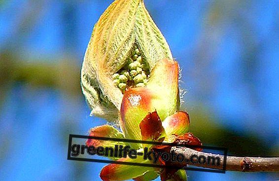 4 kastanipuud Bachi lillede hulgas