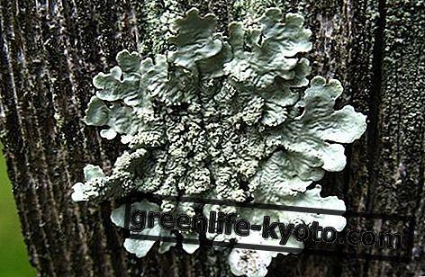 Lichen, australiensisk blomstermedel