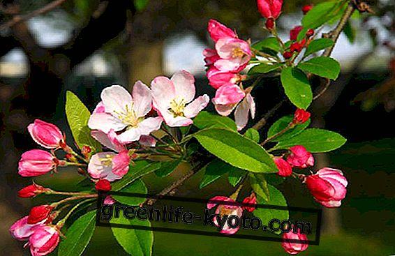 Yengeç elması, kendinden hoşlanan bir çiçek