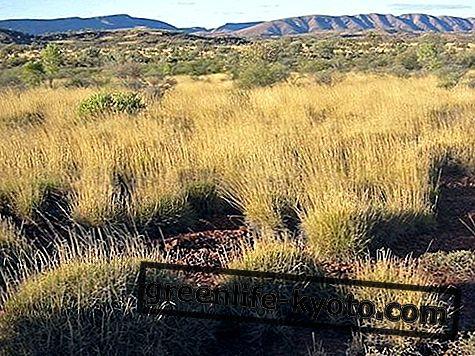 Spinifex, Austrālijas ziedu līdzeklis