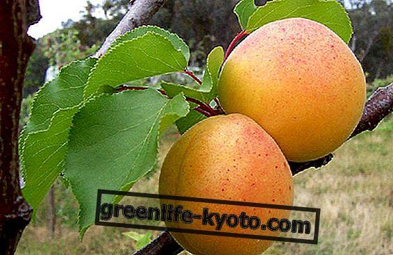 Aprikoosiõli, sametise ja kaitstud naha jaoks