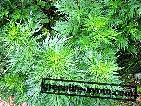Artemisia: egenskaber, brug, kontraindikationer