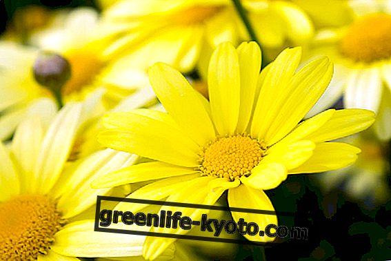 Arnica: todo sobre la flor californiana