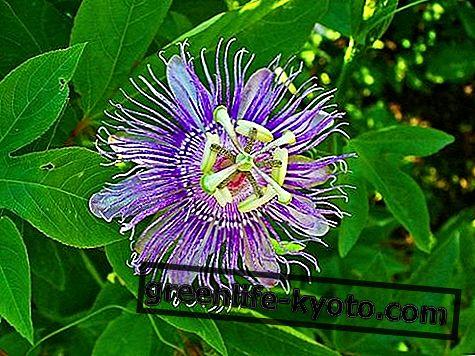 Passionflower: proprietăți, utilizare, contraindicații