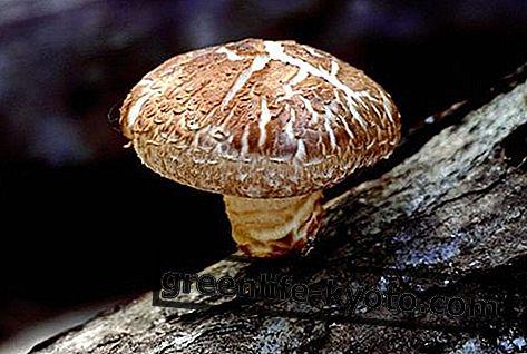 Léčivé houby proti autoimunitním chorobám: co jsou a kdy je používat
