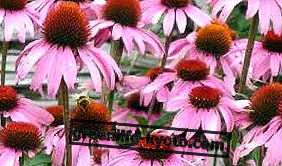 Echinacea for immunsystemet