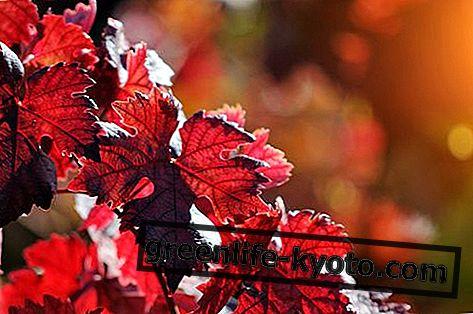 Mother Tincture Red Vine: penyediaan, sifat dan penggunaan