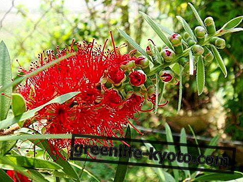 Libre de opresión, las flores de purificación australianas.