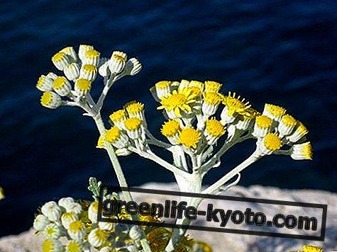 Helichrysum: propiedades, uso, contraindicaciones.