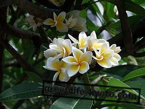 Red Suva Frangipani, ausztrál virágszerződés