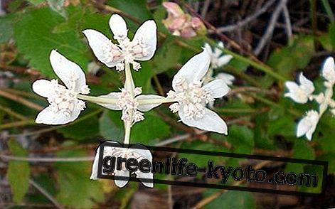 サザンクロス、オーストラリアの花の救済