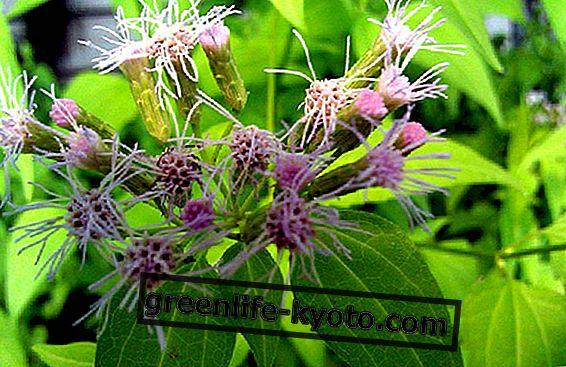 कैले ज़ाटेचिची, सपनों का पौधा