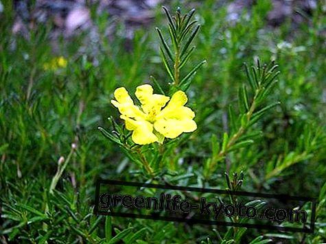 Hibbertia, australski lijek za cvijeće