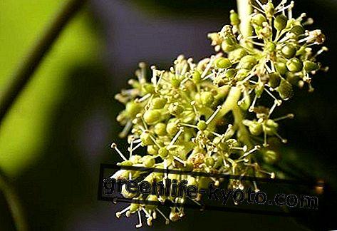 Vynuogės, visos Bacho gėlės