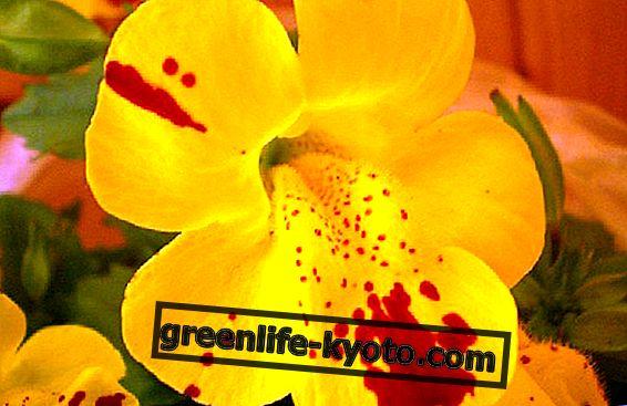 Bacho gėlės transpersoninis principas