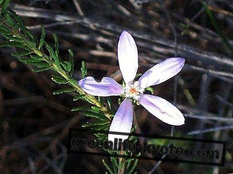 Philoteca, 호주 꽃 치료
