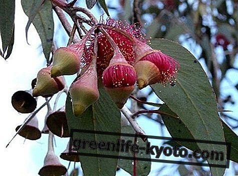 रजत राजकुमारी, ऑस्ट्रेलियाई फूल उपाय