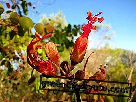 Баухиниа, аустралијски цветни лек