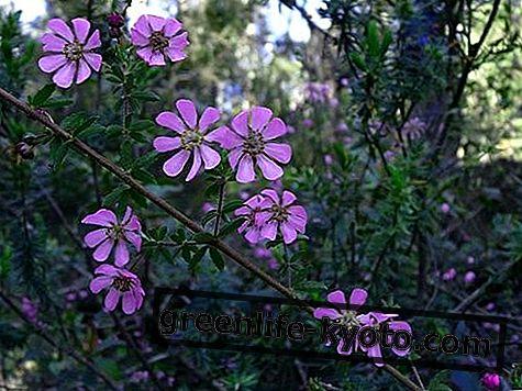 Hund Rose, australsk blomstermiddel