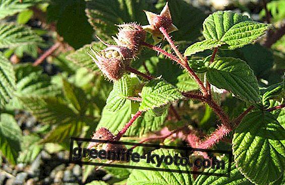 Rubus idaeus: gemmoderivato raspberry terhadap sindrom pramenstruasi