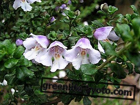 Алпине Минт Бусх, аустралијски цвјетни лијек