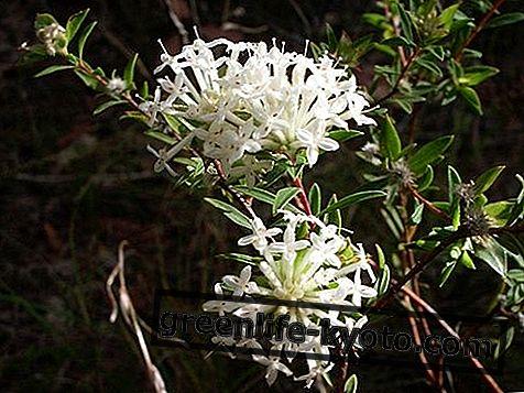 Строен оризов цвете, австралийско цветно средство